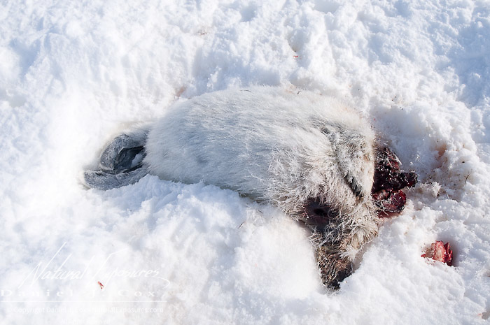 The carcass of a baby Ringed Seal (Pusa hispida) it was partially eaten by a polar bear. Beaufort Sea, Alaska.