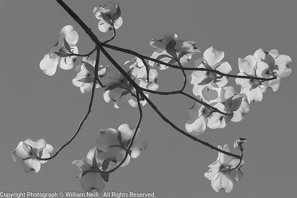 Dogwood Blossoms, Claremont California 2008