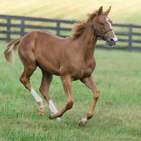 Giant Gizmo - Apache Signal Filly - Beth Hancock