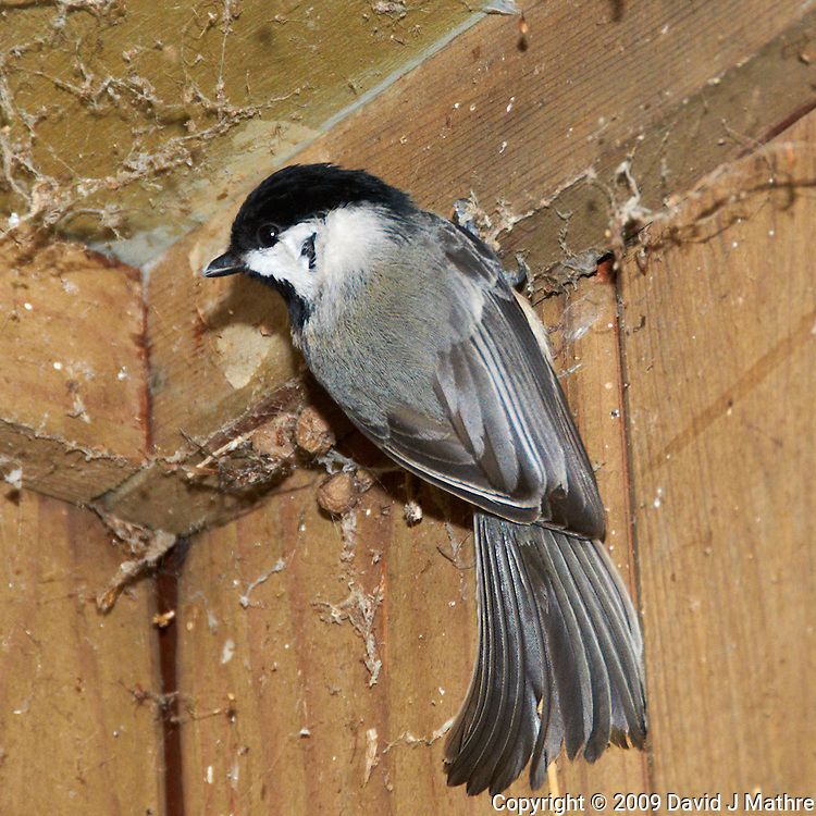 Black-capped Chickadee trying to keep warm. Image taken with a Nikon D300 and 18-200  mm VR lens (ISO 800, 200 mm, f/7, 1/60 sec, flash).