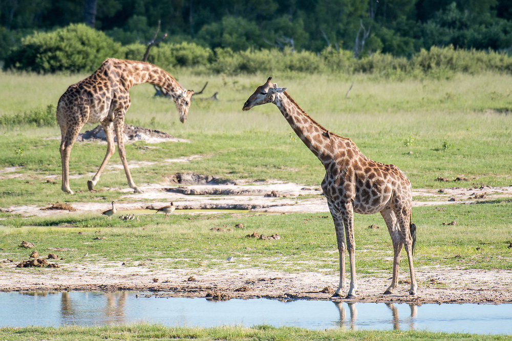 Two giraffes mill about in the wetlands of Zimbabwe. Zimbabwe