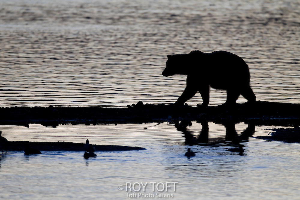 Silhouette of a brown bear in the water hunting for salmon, Katmai National Park, Alaska