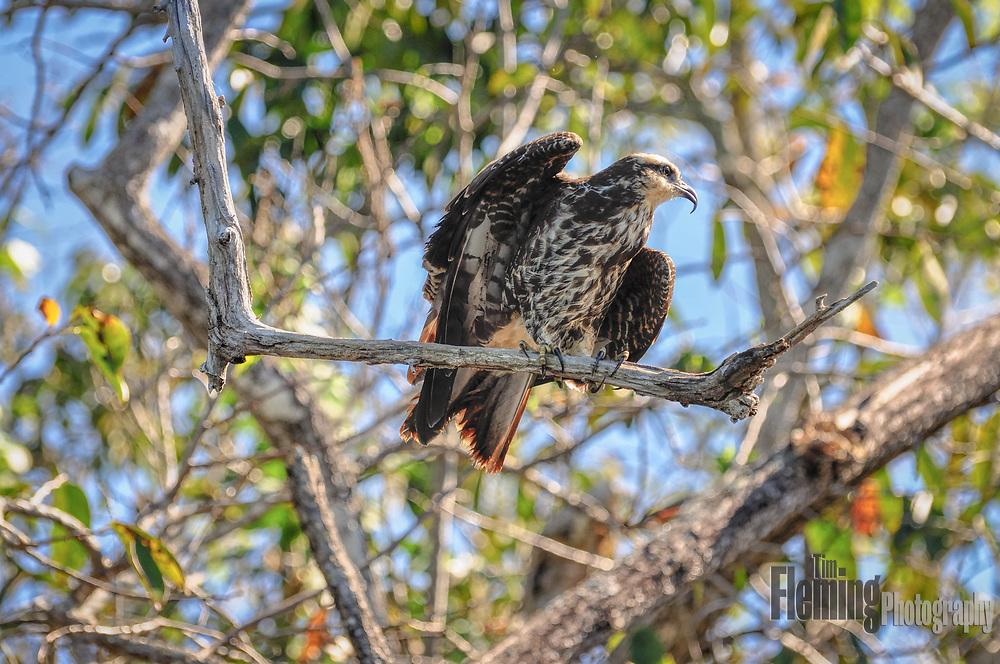 A snail kite perched in tree in the La Tovara Wildlife Refuge, near San Blas, Mexico