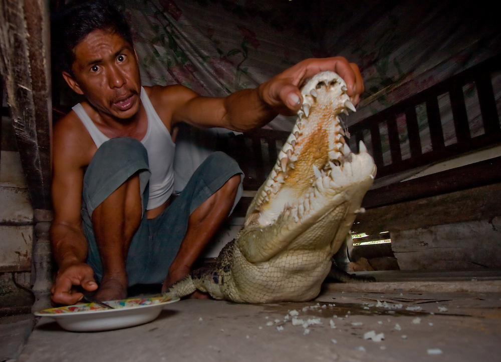 A man feeds a saltwater crocodile - Crocodylus porosus - that he believes to be his daughter on account of it possessing five fingers, in Central Sulawesi