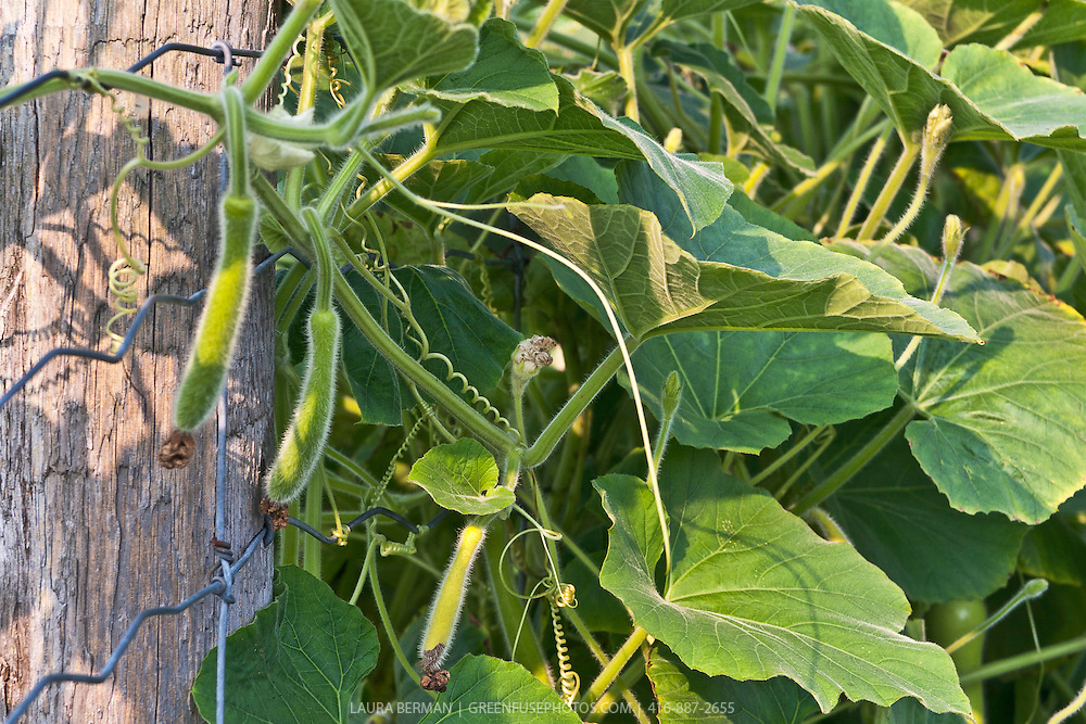 Bottle gourd (Lagenaria siceraria) is an annual vine  having white flowers and smooth, large, hard-shelled gourds from 6 to 36 inches long and 3 to 12 inches in diameter.