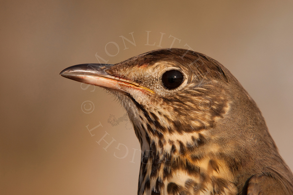 Song Thrush (Turdus Philomelos) adult, close up of head, winter, UK.