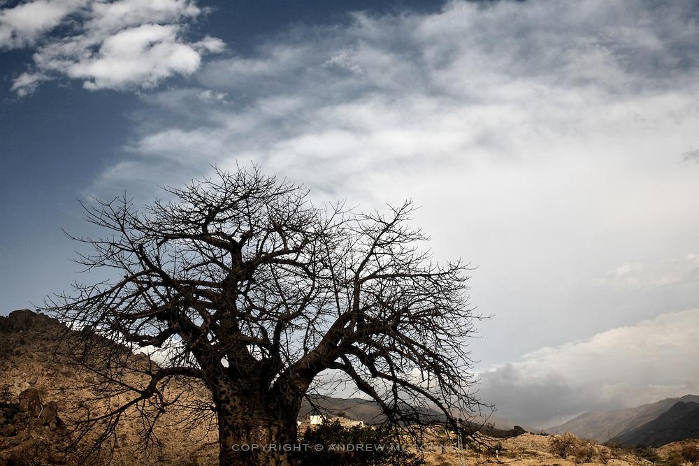 A Baobab tree in western Eritrea.