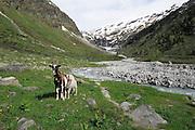 Gletschermilch fließt tosend durch das Innergschlößtal. Nationalpark Hohe Tauern, Österreich.