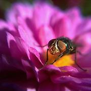 Photo of a fly on a flower made with cell phone camera November 2, 2010, in Washington, DC...Photo by Khue Bui