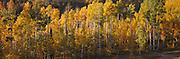 Fall Aspen Grove, Gore Mountain Range, Colorado