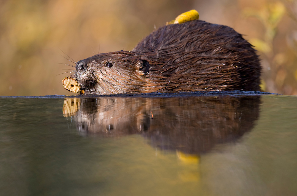 USA, Alaska, Denali National Park, Beaver (Castor canadensis) swimming with chewed branch in pond near Wonder Lake on autumn evening