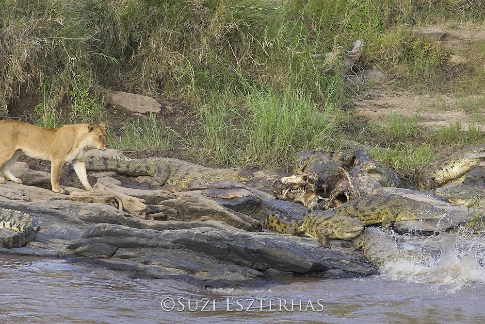 Nile Crocodile<br /> Crocodylus niloticus<br /> Crocodiles flee from hippo carcass as lion approaches<br /> Maasai Mara Reserve, Kenya