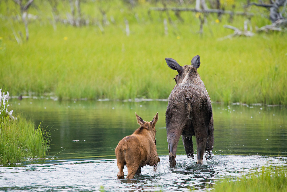 Cow Moose with calf in tow walking in pond near Albert Loop Trail of the Eagle River Nature Center in Chugach State Park, Alaska. Summer. Afternoon.
