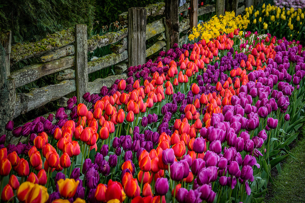 Every Spring the Skagit Valley in Western Washington come to life with millions upon millions of fresh tulip flowers on several large tulip farms.  At the same time the locals hold the Skagit Valley Tulip Festival celebrating the abundance of tulips which are sold all over the nation.