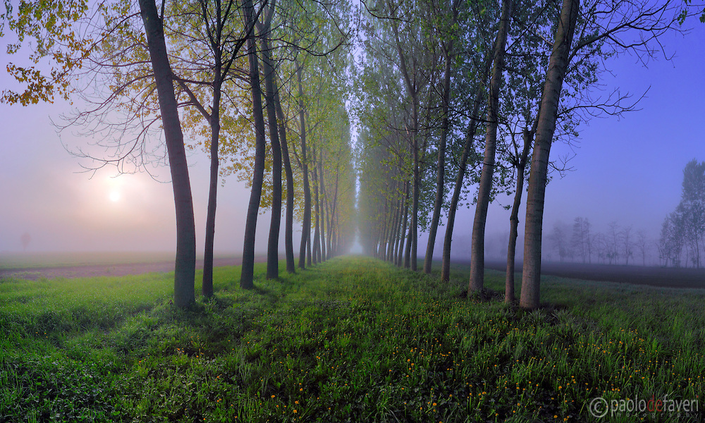 A panoramic view of an alley of poplar trees and a carpet of dandelions in full blossom on the ground. Taken at dawn on a foggy morning at the beginning of April in the countrysibe nearby the small town of Osasio in Piedmont, Italy