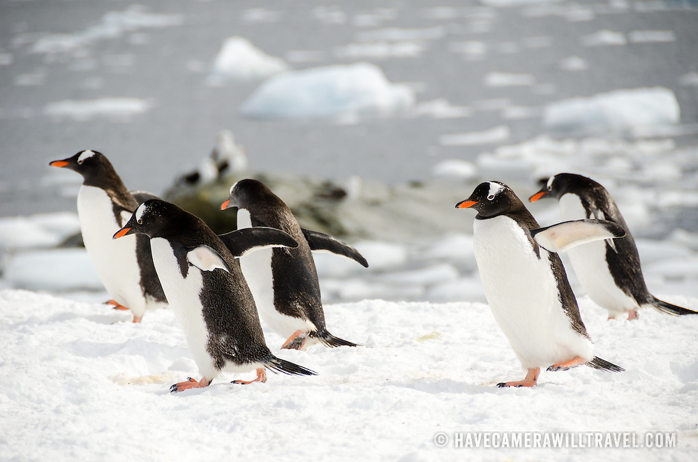 A waddle of Gentoo penguins wanders by on the ice at Mikkelsen Harbour on Trinity Island in Antarctica.