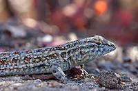 Uta stansburiana elegans (Western Side-blotched Lizard) ♂ at Lynx Gulch, Angeles NF, Los Angeles Co, CA, USA, on 10-Sep-16