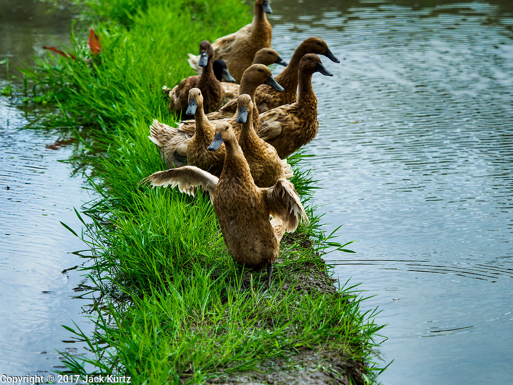 10 AUGUST 2017 - UBUD, BALI, INDONESIA: Ducks in a rice field about 1.5 kilometers from downtown Ubud. Rice is the most important crop grown on Bali and is important as a food source and a symbol of Balinese culture. In accordance with Balinese tradition, men transplant the young rice plants from nurseries to the fields and women harvest the rice when it matures. Bali rice farmers use ducks in their fields. The ducks eat the insects that threaten crops and the duck guano is used to fertilize the fields.     PHOTO BY JACK KURTZ