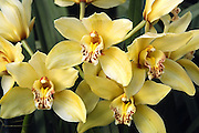 pale yellow orchids; cultivated flowers; horizontal