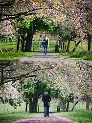 © Licensed to London News Pictures. 18/05/2016. Leeds UK. YESTERDAY & TODAY WEATHER COMPARISON. Top picture taken 17/05/2016 shows a woman walking on the Harrogate Stray in the sunshine yesterday. Bottom picture taken 18/05/2016 shows a man walking on the Harrogate Stray on an overcast day today. Photo credit: Andrew McCaren/LNP