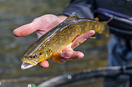 Sean Crocker with team Freestone from Pennsylvania displays a brown trout that he caught during a practice session on the Roaring Fork River near Basalt, Colorado.