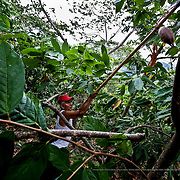 The way that cocoa is cultivated in Soconusco is one of the most highly developed forms of agriculture in the world. There are no cocoa plantations here, but forests where cocoa is grown surrounded by other plants that are useful to mankind. This is a bio-diversified product. More than 100 different species including trees for timber, fruit and medicinal trees have been identified.
