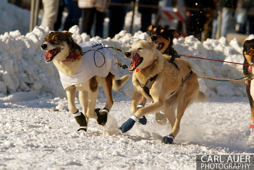 3/3/2007:  Anchorage Alaska -  The Lead dogs of Veteran Bill Pinkham of Glenwood Springs, CO during the Ceremonial Start of the 35th Iditarod Sled Dog Race