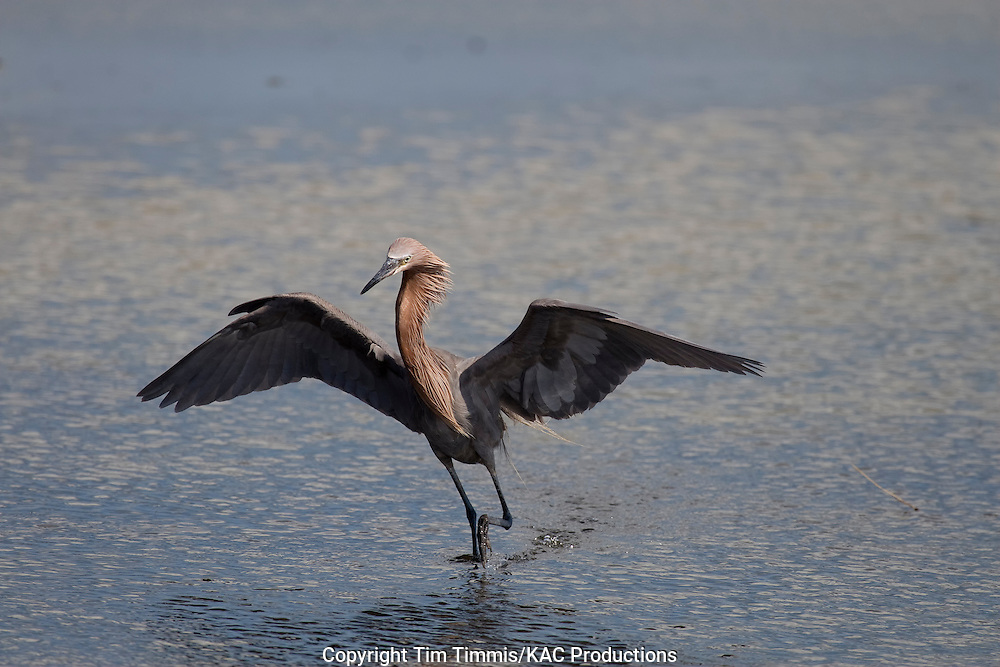 Reddish Egret, Egretta rufescens, Galveston, Texas gulf coast, raised wings, fishing