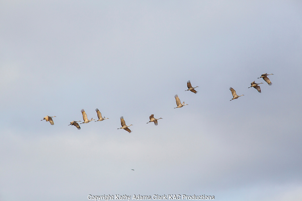 Sandhill crane, Grus canadensis, Platte River, spring migration, Grand Island, Nebraska.
