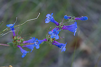 I found this beautifully blue and violet lowly penstemon (also known as low beardtongue or and lowly beardtongue) in a dry canyon on the eastern side of Washington's Cascade Mountains  in White Pass surrounded by very many of the closely related showy penstemon. Something seemed odd about them at first until I finally realized it was a different species.