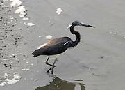 Tri Colored Heron hunting the marsh at Jekyll Island