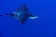 White-spotted Eagle Ray, Aetobatus narinari, (Euphrasén, 1790), Maldives
