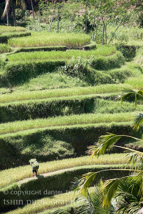 A farmer on a terraced rice paddy