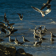 Seagulls hunting on the beach. Malibu,CA.USA.