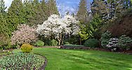 Magnolias and Rhododendrons blooming in the North Quarry Gardens in Queen Elizabeth Park, Vancouver, British Columbia, Canada