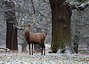 © Licensed to London News Pictures. 14/01/2013. Richmond, UK A red deer stag in the snow. Deer and people in the light dusting of snow at Richmond Park this morning. Snow hits the many parts of the UK today 14th January 2013. Photo credit : Stephen Simpson/LNP