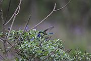 Nova Lima_MG, Brazil.<br /> <br /> Estacao Ecologica de Fechos, localizada no municipio mineiro de Nova Lima, Minas Gerais. Na foto Beija-Flor.<br /> <br /> Fechos Ecological Station in Nova Lima, Minas Gerais. In this photo Marmoset (Callithrix penicillata).<br /> <br /> Foto: JOAO MARCOS ROSA / NITRO