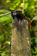 golden-mantled tamarin (Saguinus tripartitus)<br /> PERU: Madre de Dios<br /> Refugio Amazonas on the Tambopata River<br /> 26-Nov-2015<br /> J.C. Abbott &amp; K.K. Abbott
