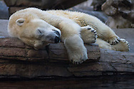 A polar bear sleeps at the San Diego Zoo