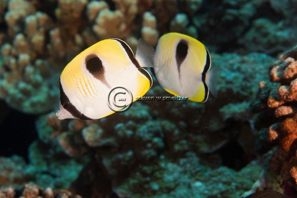 Teardrop Butterflyfish, Chaetodon unimaculatus, Bloch, 1787, Lanai, Hawaii