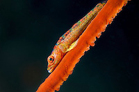 Whip Coral Goby profile<br /> <br /> Shot in Indonesia