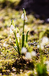 THEMENBILD - Frühlingsknotenblumen (Leucojum vernum) auf der Wiese, aufgenommen am 17. März 2019, Kaprun, Österreich // Spring knotflowers (Leucojum vernum) on a meadow on 2019/03/17, Kaprun, Austria. EXPA Pictures © 2019, PhotoCredit: EXPA/ Stefanie Oberhauser
