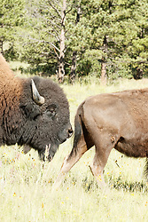 Bison bull sniffing cow during rut, Vermejo Park Ranch, New Mexico, USA.