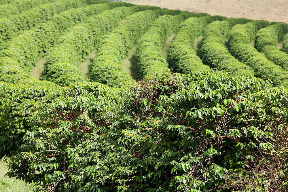 Carmo da Cachoeira_MG, Brasil...Vista panoramica de uma plantacao de cafe de uma fazenda...The panoramic view of coffee plant at a farm...Foto: LEO DRUMOND / NITRO....