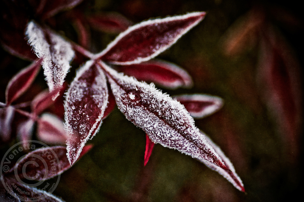 The striking contrast of red leaves covered by early winter hoar frost.