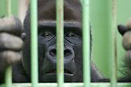 Eastern Lowland Gorilla in the Dubai zoo.