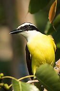 A great kiskadee perches in a tree high above the ground, Puerto Vallarta, Mexico