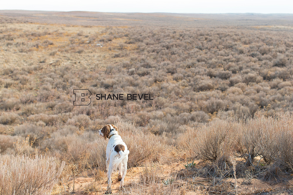 12/8/12 11:37:54 AM -- Quail hunting on the Cimarron Hills WMA in western Oklahoma. <br /> <br /> Photo by Shane Bevel