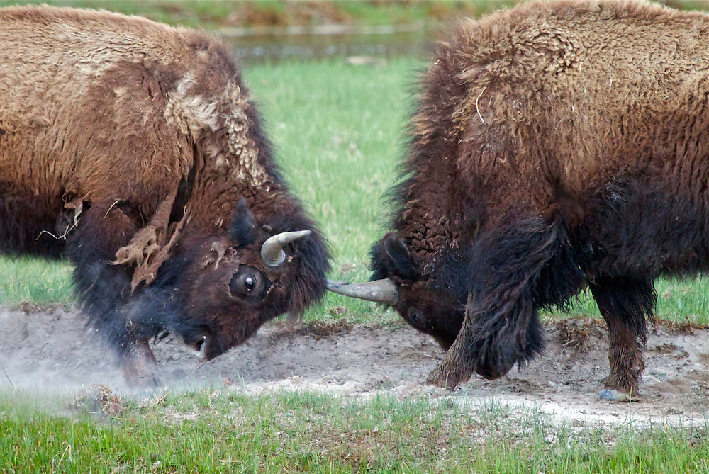 Buffalo Battle, Yellowstone National Park