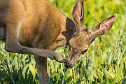 Mule deer buck (Odocoileus hemionus) - Alturas Lake Meadow, SNRA ID